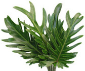 Philodendron -
