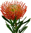 Protea - Pincushion from Boulevard Florist Wholesale Market