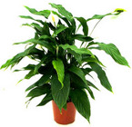 Plants - 8 inch pot from Boulevard Florist Wholesale Market