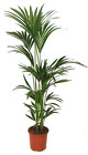 Plants - 4 to 5 foot uprights from Boulevard Florist Wholesale Market
