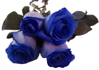 Roses Imported - Dyed Blue - 50-60cm from Boulevard Florist Wholesale Market