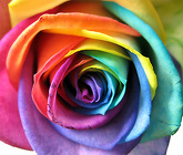 Roses Rainbow 50cm from Boulevard Florist Wholesale Market