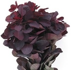 Smoke Bush from Boulevard Florist Wholesale Market