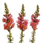 Snapdragon from Boulevard Florist Wholesale Market