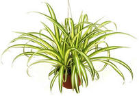 Spider Plant from Boulevard Florist Wholesale Market