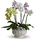 Valentine's Day Regal Orchids from Boulevard Florist Wholesale Market