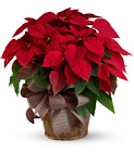 Large Red Poinsettia from Boulevard Florist Wholesale Market