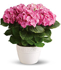 Happy Hydrangea - Pink from Boulevard Florist Wholesale Market