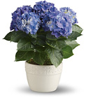 Happy Hydrangea - Blue from Boulevard Florist Wholesale Market