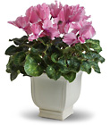 Sunny Cyclamen from Boulevard Florist Wholesale Market