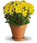 Sweet as a Daisy from Boulevard Florist Wholesale Market