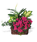 Azalea Attraction Garden Basket from Boulevard Florist Wholesale Market
