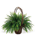 Faithful Fern from Boulevard Florist Wholesale Market