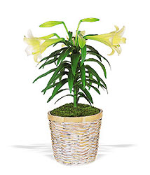 Easter Lily Plant from Boulevard Florist Wholesale Market