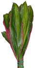 Ti Leaf Rainbow from Boulevard Florist Wholesale Market