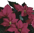 Poinsettia Burgundy from Boulevard Florist Wholesale Market