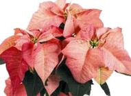 Poinsettia Peppermint from Boulevard Florist Wholesale Market