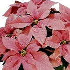Poinsettia Pink from Boulevard Florist Wholesale Market