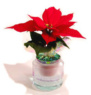 Poinsettia Self Watering - Grower Pot from Boulevard Florist Wholesale Market