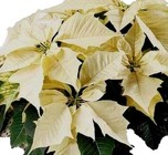Poinsettia White from Boulevard Florist Wholesale Market